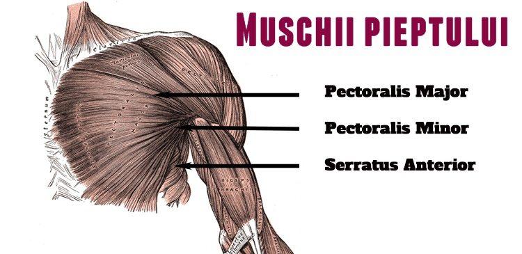 muschi-pectorali