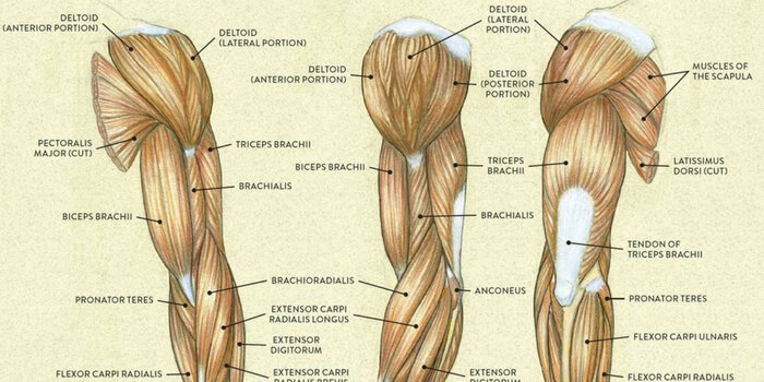 Anatomia deltoizilor